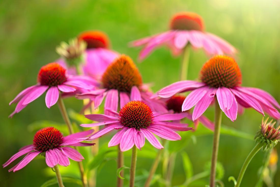 Эхинацея цветы